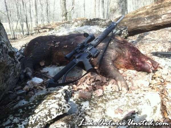 Wild boar AR