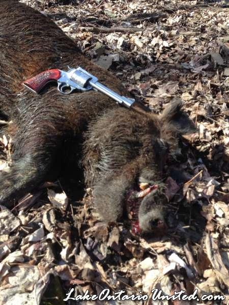 Wild boar Colt .45