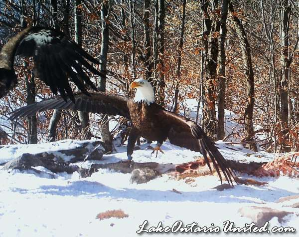 BH eagle 1 12 (3)