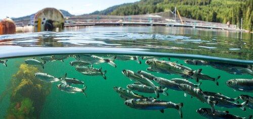 Bloodwater Tavish Campbell wild salmon British Columbia
