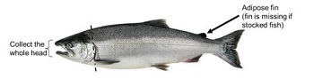 Diagram showing coho salmon and amount of the head that needs to be donated