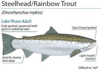 steelhead rainbow trout ID, Illustration by Peter Thompson