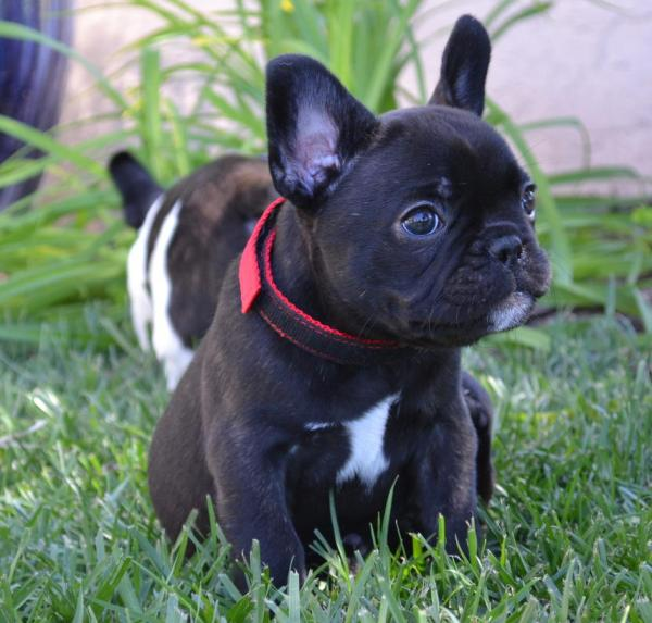 french bulldog rochester ny akc french bulldog puppies ready for new homes 4792