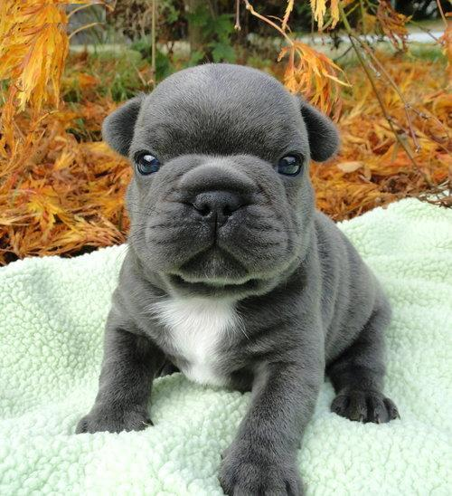 AKC French Bulldog Puppies Ready For New Homes ...