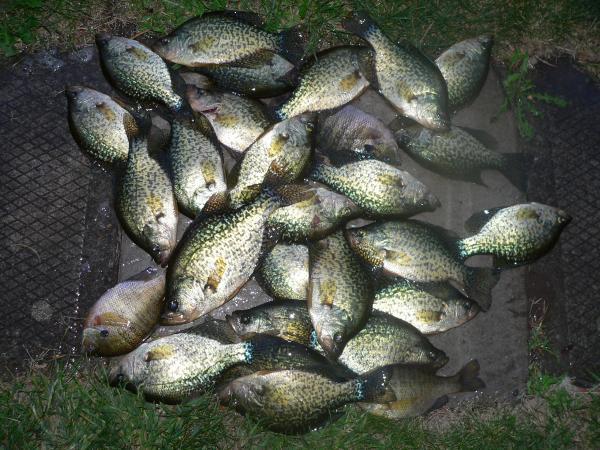 Crappie limit 8 12 panfish lake ontario united lake for Puddingstone lake fishing