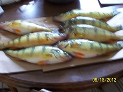 Large St Lawrence Perch