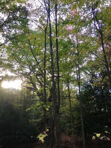 Narly oak.jpg
