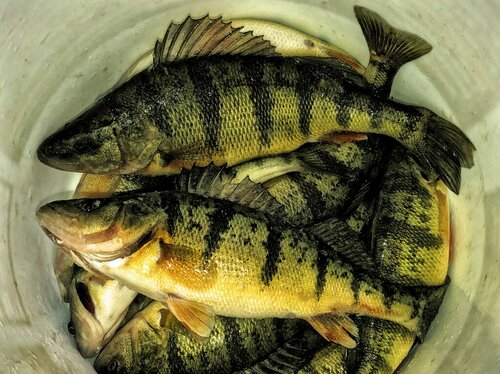 2019 IF-Lake Simcoe Perch-190111-002 HDR.jpg