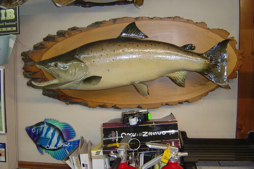 Male ALANTIC SALMON 29 INCHES ,16.5 LBS 001.JPG