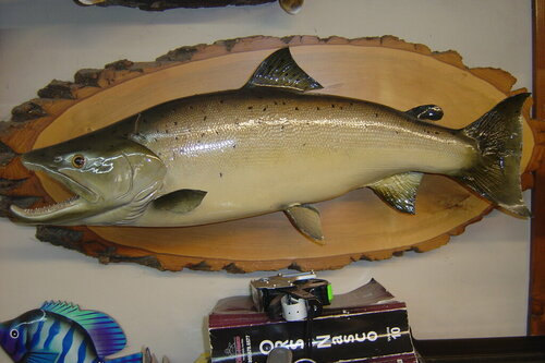 Male ALANTIC SALMON 29 INCHES ,16.5 LBS 003.JPG