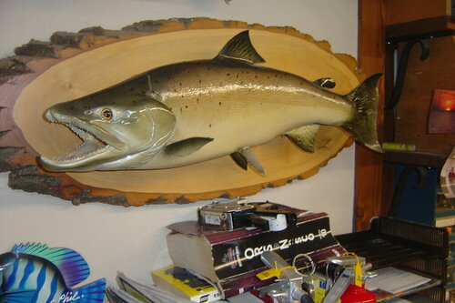 Male ALANTIC SALMON 29 INCHES ,16.5 LBS 002.JPG
