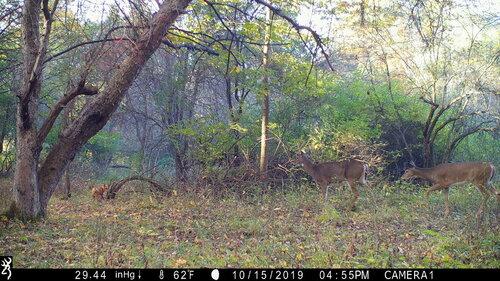 fox deer 2.JPG