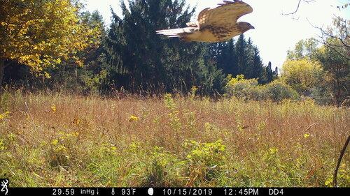 Hawk flying!.JPG