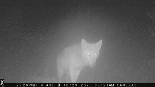 coyote 10-23-20 close.JPG